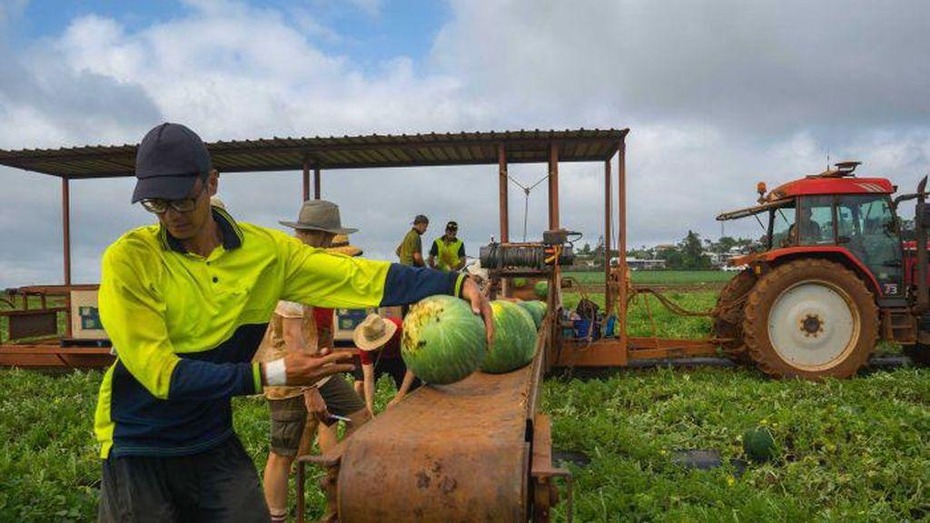 Aplikasi Backpicker Memudahkan Pemetik Buah Mendapatkan Kerja di Australia