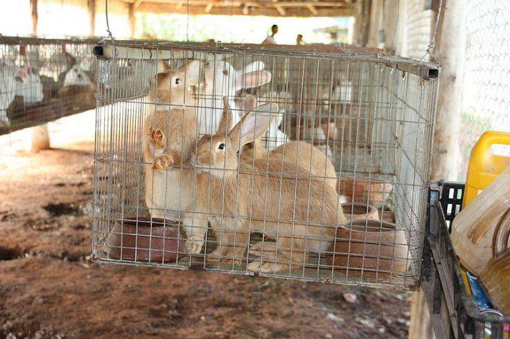 Kelinci ditukar bahan makanan