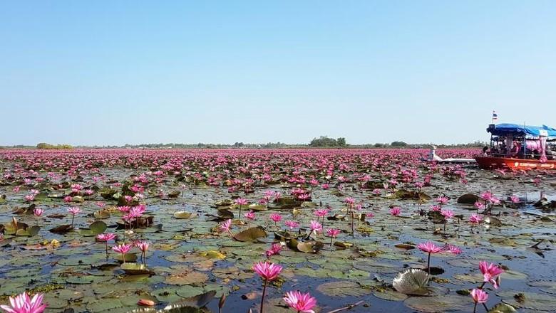 Danau Teratai Pink