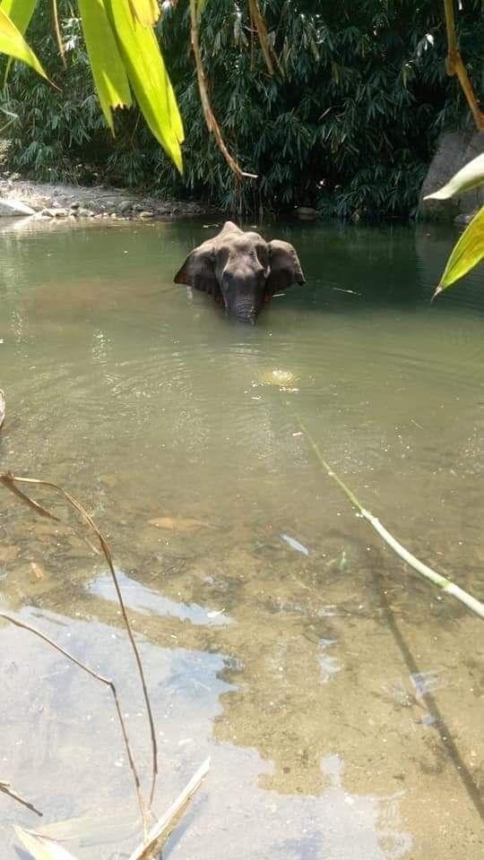 Gajah Mati Karena Makan Nanas Berisikan Alat Peledak