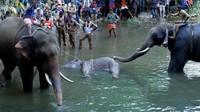 Kasihan! Manyantap Buah Isi Petasan, Gajah Hamil di India Mati