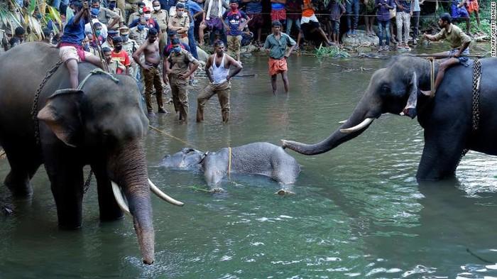 Gajah di Kerala, India sedang dievakuasi usai mati karena menyantap buah berisi petasan (CNN Photo)