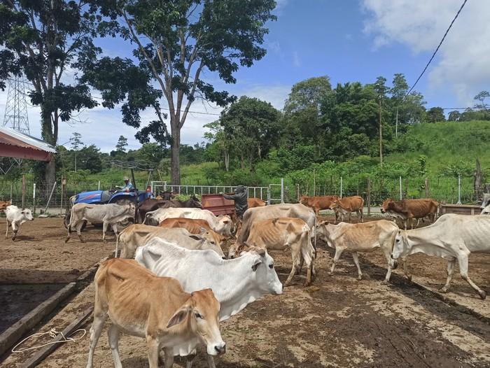 Kondisi ratusan ekor sapi milik Pemprov Aceh (Agus Setyadi-detikcom)