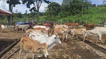 Anggaran Pakan Miliaran Namun Sapi Kurus Disorot, Pemprov Aceh Buka Suara