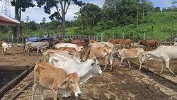 Ulama Aceh Buka Suara Gegara Pemotongan Sapi Disorot Australia