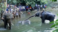 Polisi Tangkap Pria Pembuat Bom Umpan yang Tewaskan Gajah Hamil