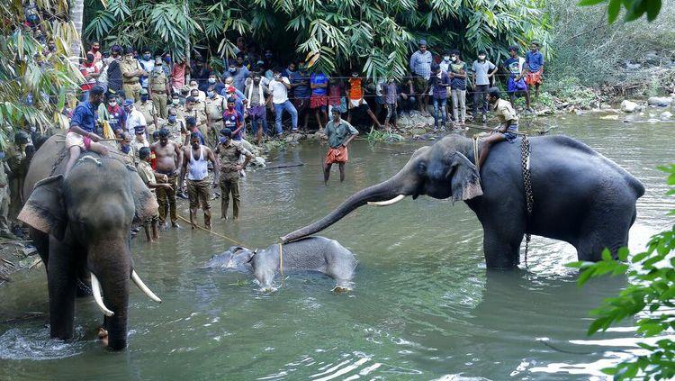 Momen Evakuasi Gajah Hamil yang Mati Usai Makan Nanas Berisi Petasan