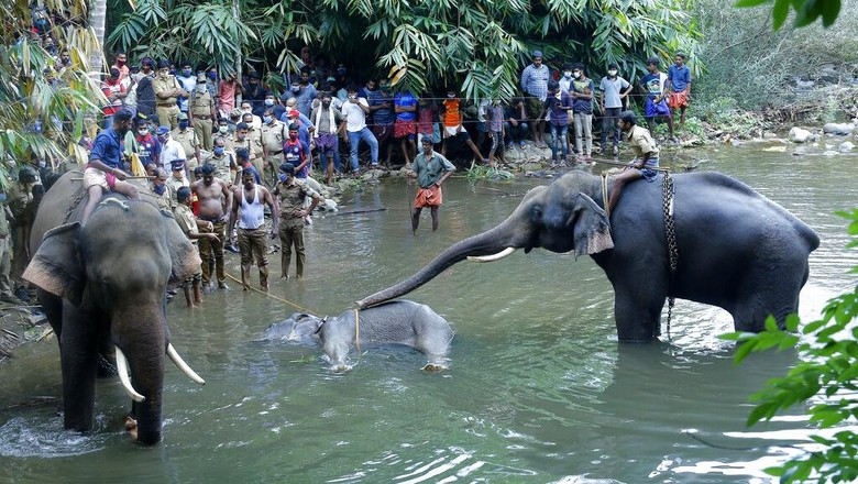 Seekor gajah yang tengah hamil di India mati usai menyantap buah nanas yang berisi petasan. Polisi kemudian tangkap satu orang terkait kematian gajah liar itu.