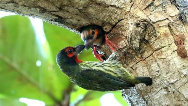 Burung takur ungkut-ungkut (coppersmith barbeth) memberi makan anaknya di pantai Bama Taman Nasional Baluran.