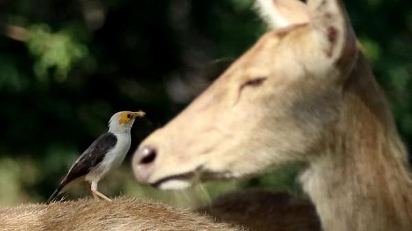 Burung Jalak Putih Blambangan (acridotheres tricolor) bersama rusa timor (cervus timorensis) berada di savana.