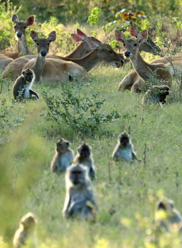 Bila beruntung, kamu bisa melihat kawanan rusa, banteng, kerbau, macan tutul hingga burung merak. (ANTARA FOTO/BUDI CANDRA SETYA)