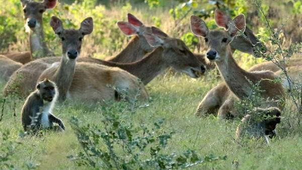 Rusa timor (cervus timorensis) bersama kera ekor panjang (macaca fascicularis) mencari makan di savana.
