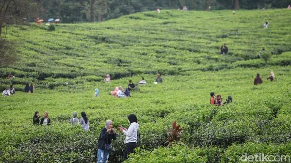 Di tengah pandemi virus Corona, sejumlah warga malah asyik mendatangi kebun teh di kawasan Puncak, Bogor.