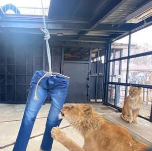 Dijual Celana Jeans dengan Robekan Singa, Harganya Rp 9 Juta