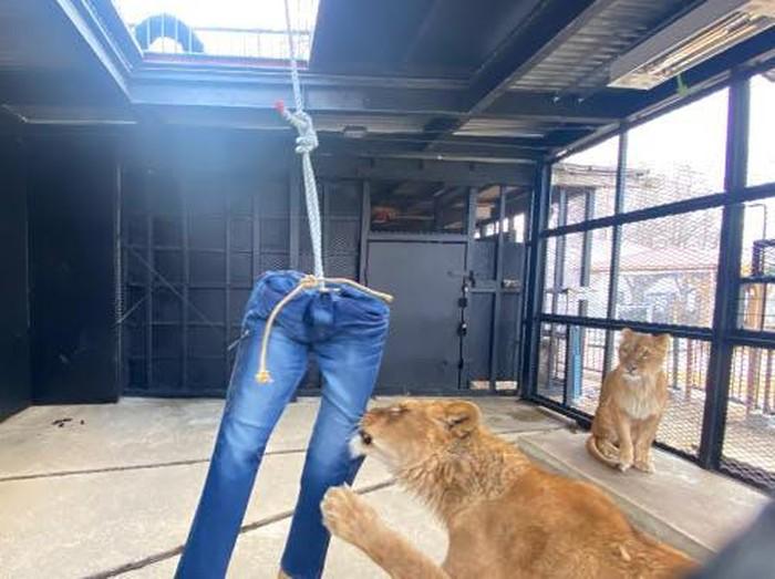 celana jeans robekan singa