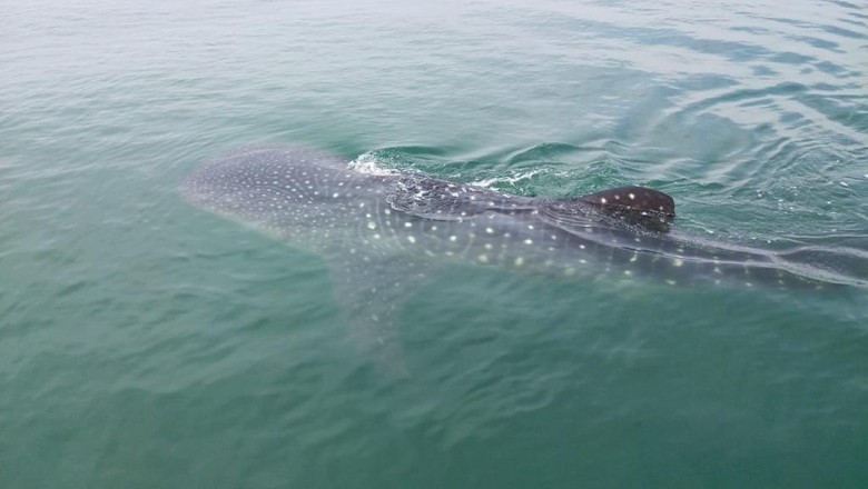 Puluhan hiu tutul muncul di perairan Pasuruan hingga Sidoarjo. Kawanan ikan raksasa ini bisa dilihat jelas karena kondisi lautan yang jernih.