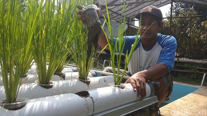 Muh Khoirul Soleh yang menaman padi dengan hidroganik di atas kolam ikan miliknya di Magelang, Senin (8/6/2020).