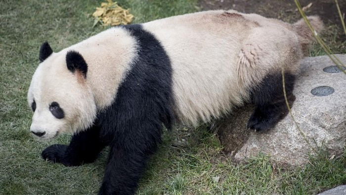 A picture taken on April 9, 2019 shows Panda Xing Er sitting in its enclosure in the Copenhagen zoo. - Driven by a sudden desire to escape, a panda briefly escaped on June 8, 2020 from its enclosure at the Copenhagen zoo, before being apprehended by the staff in the park, without causing injuries. (Photo by Mads Claus Rasmussen / Ritzau Scanpix / AFP) / Denmark OUT
