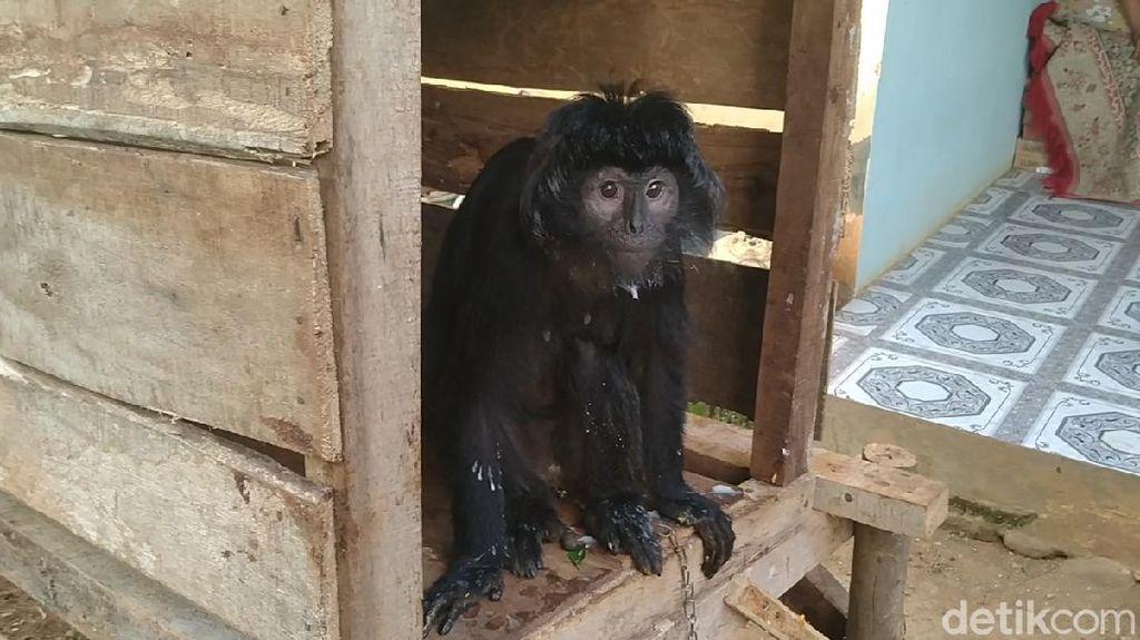 Lutung Jawa Nyasar di Permukiman Pekalongan Dievakuasi ke Taman Safari