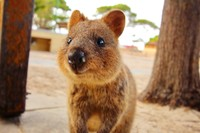 Inilah quokka, hewan endemik asli Rottnest Islands, Australia. (Getty Images/iStockphoto)