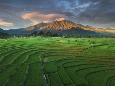 Pesona Persawahan Indonesia di Bengkulu Utara