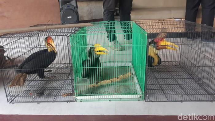 Lima ekor burung Rangkong atau Enggang Julang Jambul Hitam dan satu ekor Burung Elang Ikan Kepala Kelabu diamankan bersama seorang tersangka berinisial S, yang merupakan warga Samarinda.