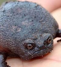 Saat musim kawin, katak betina akan mengeluarkan zat lengket di punggungnya. Fungsi cairan lengket ini adalah menjaga sang jantan supaya tidak jatuh. (thewondersofthenatrual/Instagram)