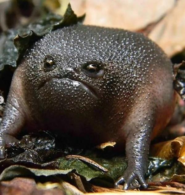 Uniknya lagi saat katak ini merasa terganggu atau terancam, dia akan menggembung atau memperbesar tubuhnya. Dan akan bertingkah lebih agresif. (critter_friend_facts/Instagram)