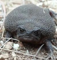Katak hitam ini bisa kamu temukan di lereng Cape Fold Belt, perbukitan pasir yang berada di Afrika Selatan. Katak ini hidup diketinggain lebih dari 1.000 mdpl. (critter_friend_facts/Instagram)