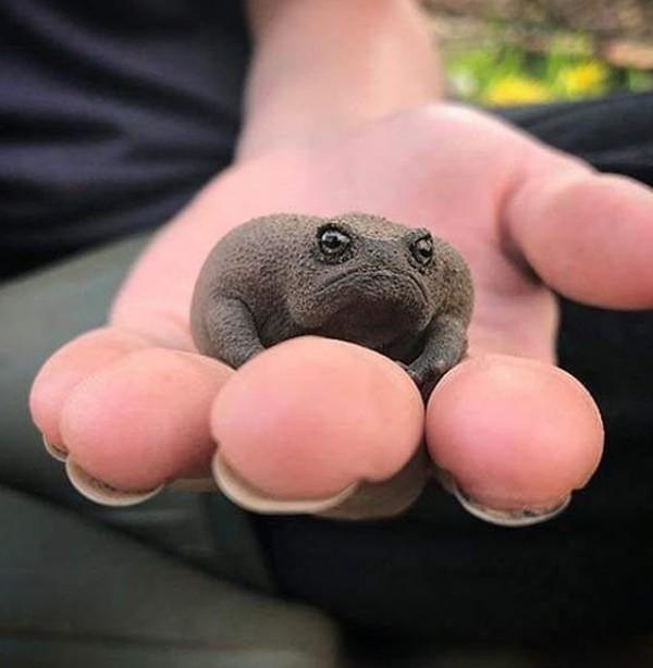 Yuk kenalan dengan Black Rain Frogs, katak hitam dari Afrika Selatan yang bertubuh mungil dan unik. (22sect/Instagram)