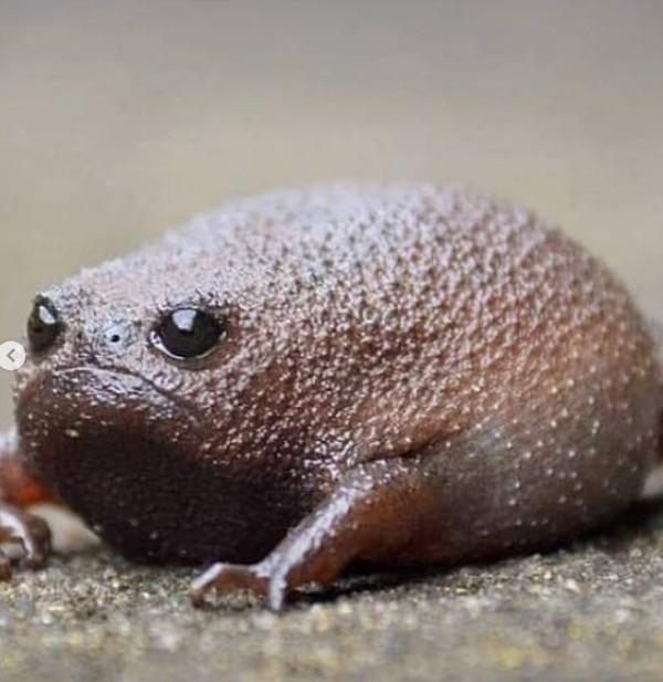 Jika kita perhatikan, bentuk tubuh katak hitam hitam mirip alpukat. Permukaan kulitnya kasar dengan adanya tonjolan diseluruh tubuhnya. Bentuk tubuhnya sangat mendukung untuk hidup di dalam tanah berpasir atau gurun. (thewondersofthenatrual/Instagram)