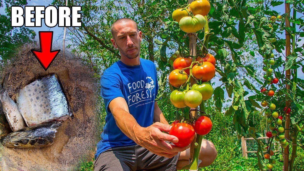 trik menanam tomat