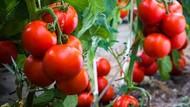 Subur Banget! Trik Tanam Tomat Pakai Pupuk Daging Ikan