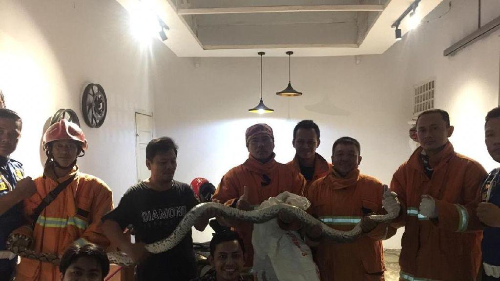 Kerap Muncul di Rumah Warga Bengkulu-Mangsa Merpati, Piton 3 Meter Dievakuasi