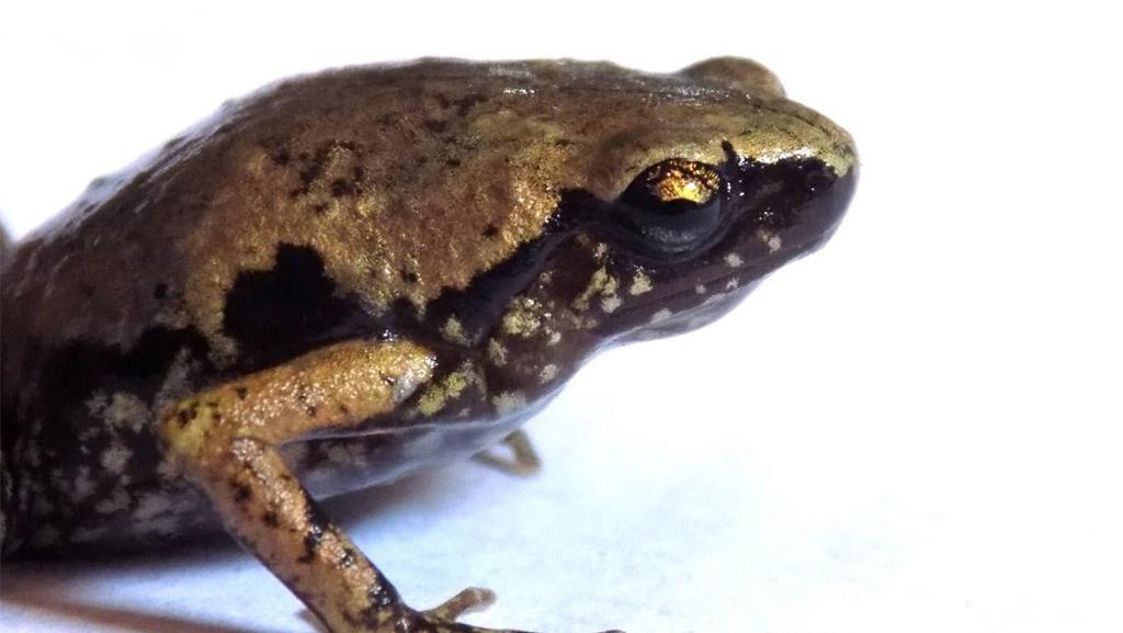 LIPI Temukan Katak Jenis Baru di Indonesia, Ini Penampakannya