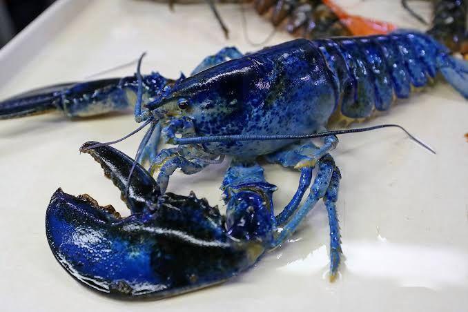 lobster langka