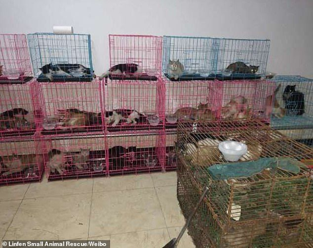Kucing Curian di China