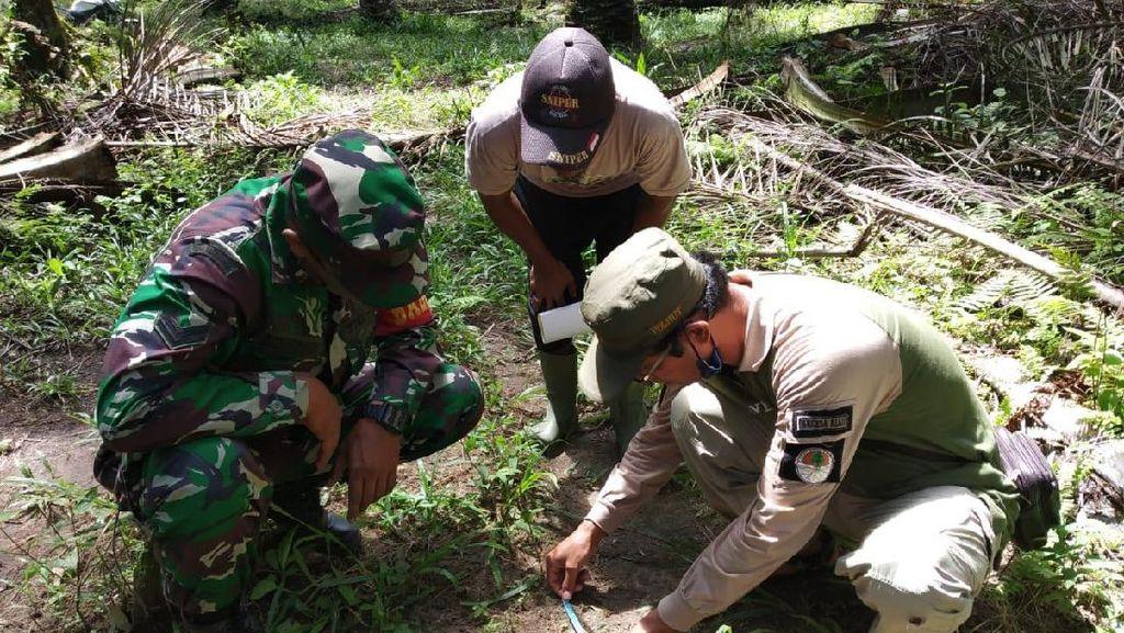 Harimau Sumatera Serang 2 Sapi di Kebun Sawit Riau