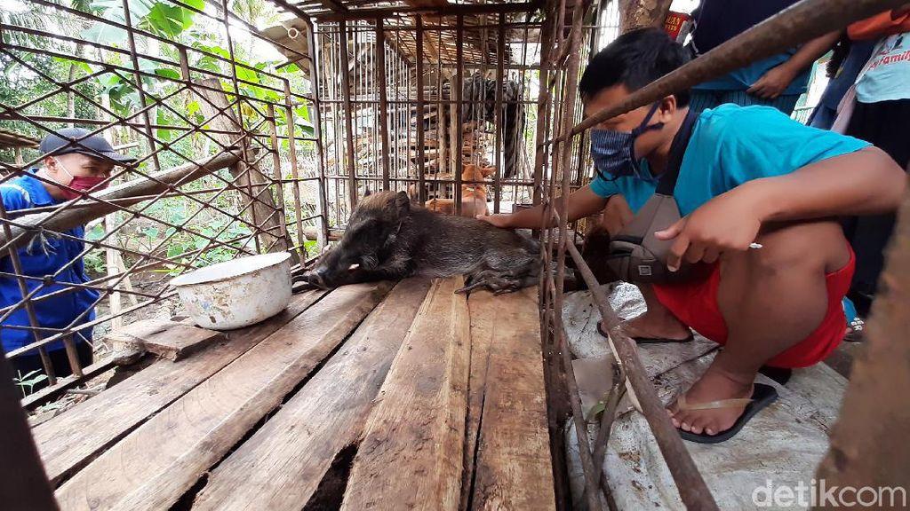 Heboh Babi Hutan Berbentuk Aneh di Banyumas, Kades: Bukan Jadi-jadian!