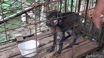 Terpopuler di Jateng: Heboh Babi Hutan Aneh-Ikan Arwana Rp 2 Juta Digoreng
