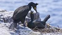 Sebagian besar sampah plastik ditemukan di sarang burung Pecuk Eropa yang bernama ilmiah Phalacrocorax aristotelis. Para peneliti yakin sampah ini tidak dibawa oleh si burung. (Getty Images/iStockphoto/davidnmoorhouse)