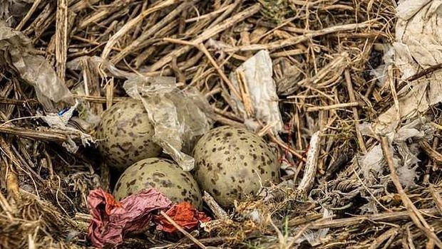 Sampah Plastik Cemari Sarang Burung di Pulau Tak Berpenghuni