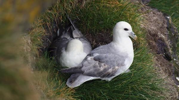 Sampah plastik juga ditemukan di 35,6% sarang burung Camar Besar (Larus argentatus). Para peneliti menilai sampah plastik tersebut bisa membahayakan bagi nyawa si burung. (Getty Images/iStockphoto/Maurice Dawson)