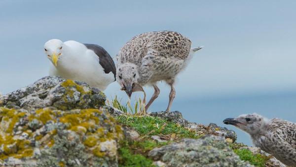 Sampah itu bisa saja tertelan atau terjerat si burung dan menimbulkan kematian. 53,5% sarang burung Camar Punggung Hitam (Larus Marinus) di pulau tersebut juga ditemukan sampah plastik. (Getty Images/iStockphoto/Pascale Gueret)