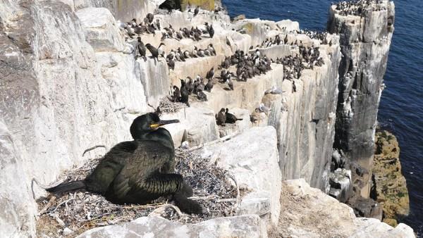 Tinggal di pulau yang tidak dihuni manusia, tak jadi jaminan burung-burung di Skotlandia bebas dari pencemaran lingkungan. Sampah plastik justru ditemukan di sarang mereka. (Getty Images/iStockphoto/mauribo)