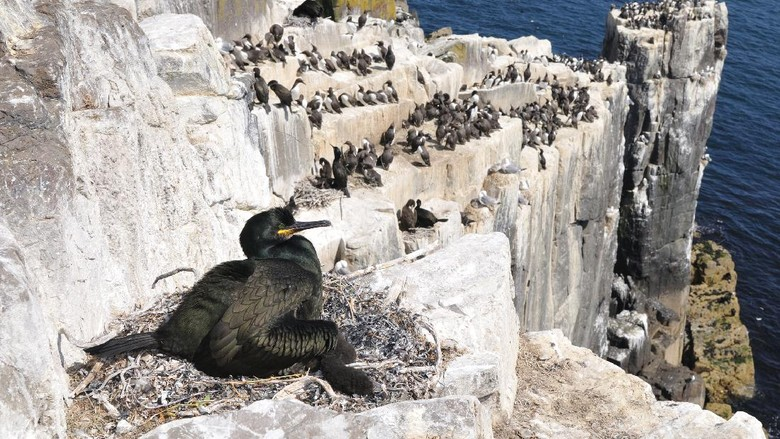 European shag or common shag (Phalacrocorax aristotelis)