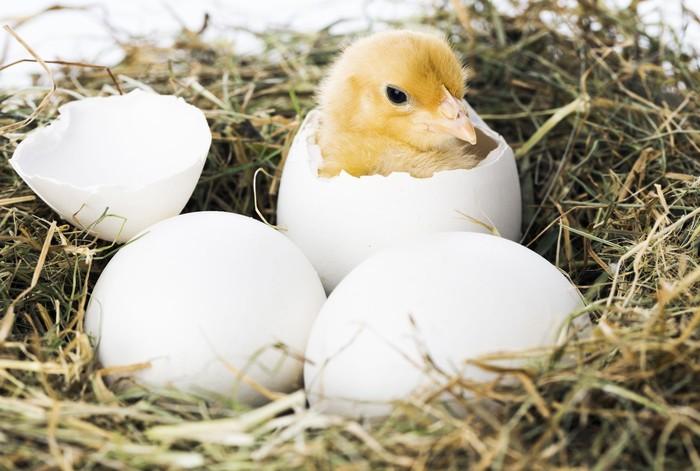 telur bebek menetas