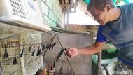 Begini Cara Pebisnis Empedu Kobra Selamat dari Gigitan Ular Berbisa