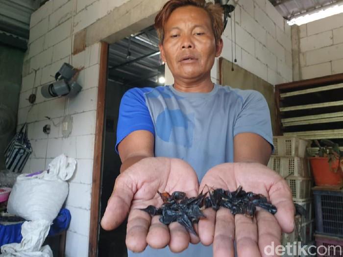 Empedu ular kobra dipercaya mempunyai banyak khasiat bagi manusia. Warga Kabupaten Mojokerto, Muhammad Arifin (43) menjadikan itu sebagai peluang bisnis.