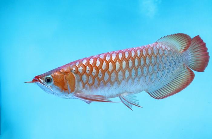Heboh Ikan Arwana Digoreng, Bisakah Ikan Hias Mahal Ini Dimakan?